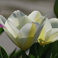 Sun Shining On A Flowering White Tulip Flower Blossom by DejaVu Designs