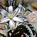 Sun Soaked Desert Lily by Chris Brannen