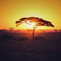 Sun Through Acacia by Vicki Jauron