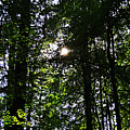Sun Through Trees In Forest by Tinto Designs