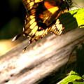 Sunbathing Butterfly by Karen King