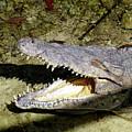 Sunbathing Croc by Francesca Mackenney