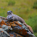 Sunbathing Marmots by Kate Avery