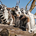 Sunbathing Ring-tailed Lemurs by MSVRVisual Rawshutterbug