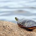 Sunbathing Turtle by Glenn Gordon
