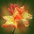 Sunburst Orange Azalea by Gill Billington