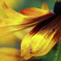 Sunburst Petals - 2 by Linda Shafer