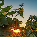 Sunburst Through The Vines by Framing Places