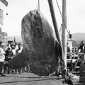 Sunfish Mola Mola On Monterey's Wharf Two June 20 1946 by California Views Archives Mr Pat Hathaway Archives