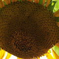 Sunflower 1 by David Arment