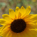 Sunflower 1 by James Granberry