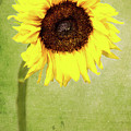 Sunflower 1 by Kevin O'Hare