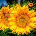 Sunflower 10 by Larry White