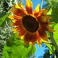 Sunflower 101 by Ken Day