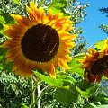 Sunflower 102 by Ken Day