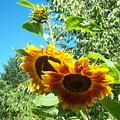 Sunflower 106 by Ken Day