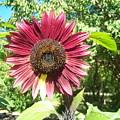 Sunflower 110 by Ken Day