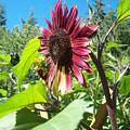 Sunflower 111 by Ken Day