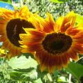 Sunflower 115 by Ken Day