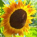 Sunflower 118 by Ken Day