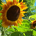 Sunflower 122 by Ken Day