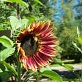 Sunflower 124 by Ken Day