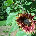 Sunflower 134 by Ken Day