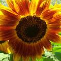 Sunflower 141 by Ken Day