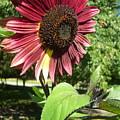 Sunflower 143 by Ken Day