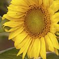 Sunflower-2 by Alexander Rozinov