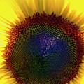 Sunflower 2 by Gary Brandes
