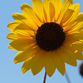 Sunflower 2 by James Granberry
