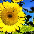 Sunflower 2 by Jijo George