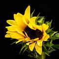 Sunflower 2 by Neva Kittrell-Scheve