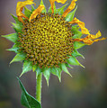 Sunflower 2 by Rick Mosher