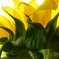 Sunflower 2015 2 by Tina M Wenger