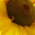 Sunflower 2015 5 by Tina M Wenger