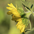 Sunflower 2016-1 by Thomas Young