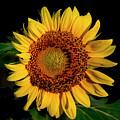 Sunflower 2017 12 by Buddy Scott