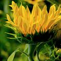 Sunflower 2017 13 by Buddy Scott