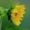 Sunflower 2017 2 by Buddy Scott
