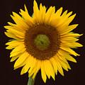 Sunflower 3 by Bob Neiman