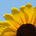 Sunflower 3 by James Granberry