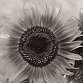 Sunflower 6 by Simone Ochrym