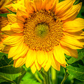 Sunflower 7 by Larry White