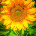 Sunflower 8 by Larry White