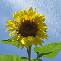 Sunflower And Bee  by Mary Ivy
