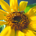 Sunflower And Bee Number Two by Thomas Firak