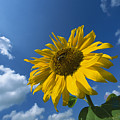Sunflower And Blue Sky by Konrad Wothe