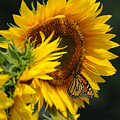 Sunflower And Monarch 3 by Edward Sobuta